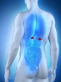 Adrenal Glands shown on Back of 3d Render of a Man.