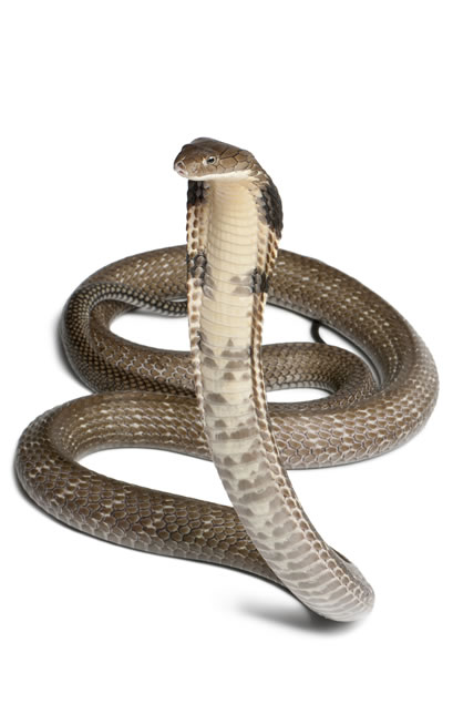 Crown Chakra Animal: Cobra snake representing kundalini energy.