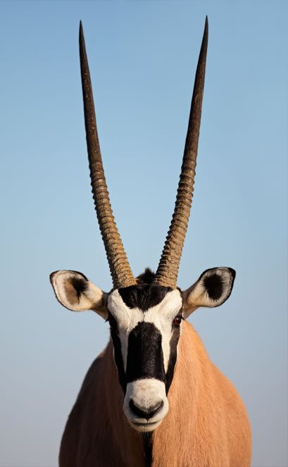 Heart Chakra Animal: Antelope with big straight horns on a clear blue sky background