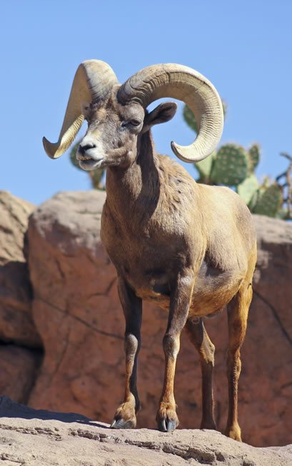 Solar Plexus Chakra Animal: Ram standing on a rock in hot and dry climate.