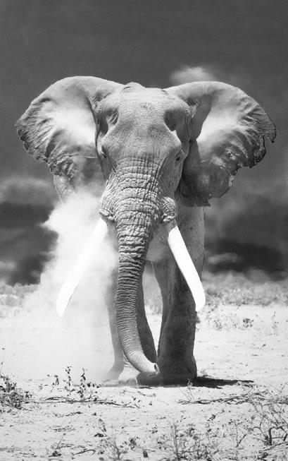 Throat Chakra Animal: White Elephant in a dry sand desert.